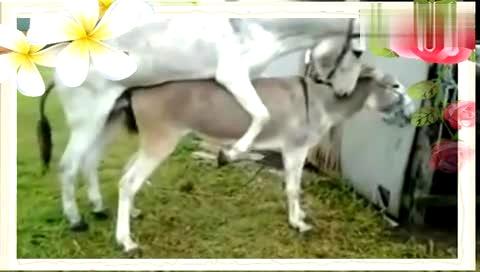 [人与自然]动物世界驴马交配