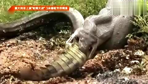 3米蟒蛇生吞鳄鱼
