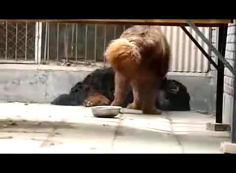 藏獒与狮子打架视频,藏獒与老虎打架视频