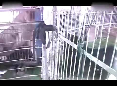 藏獒与老虎打架视频 藏獒打架真实视频 高清图片