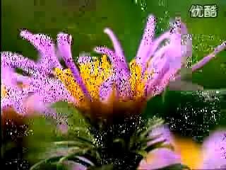 克莱德曼,野花