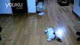 猫咪玩自动逗猫杆