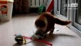 大明星猫舍CFA注册红宝石妹妹(4个月)