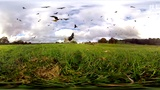 360 Red Kite Bird Feeding Frenzy 4k - BBC Earth Unplugged海报剧照