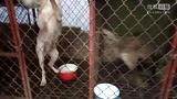 最新杜高犬大战野猪视频 纯种杜高犬打猎视频 杜高犬训练 杜高犬打架